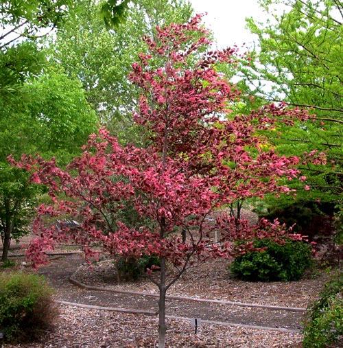 Tri Color Beech Weavers Landscape Company