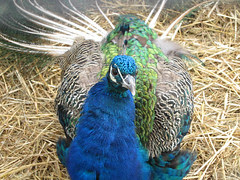 An October Farm Day! Ms. Peacock!