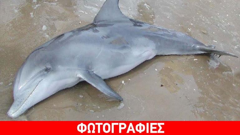 Νεκρό δελφίνι εκβράστηκε στα Χανιά