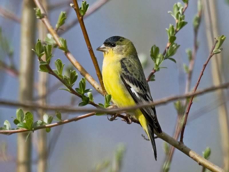 In the backyard... Lesser Goldfinch - Pacific NW Birder