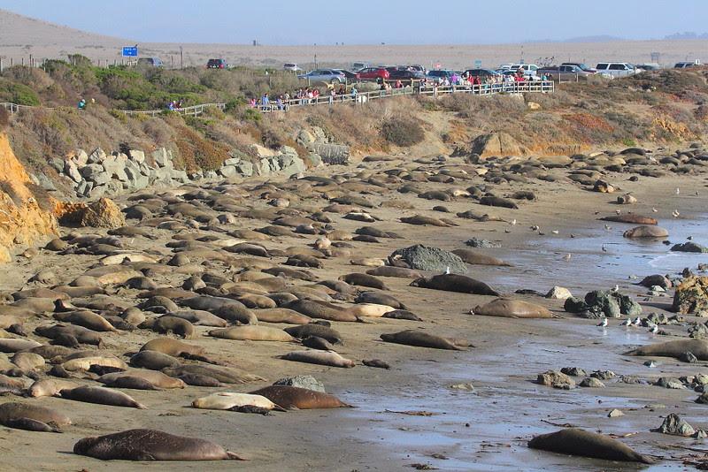 IMG_6197 Elephant Seal at Piedras Blancas