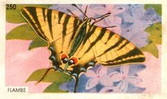 papillon 06