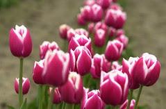 Bunga-Bunga Tulip