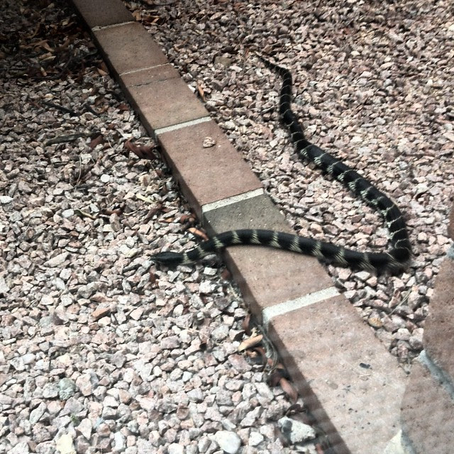 Snakes love my yard!Anyone know what kind this is?
