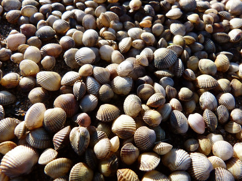 P1060677 - Shells, Llanelli