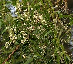 Azadirachta indica, flors i fulles