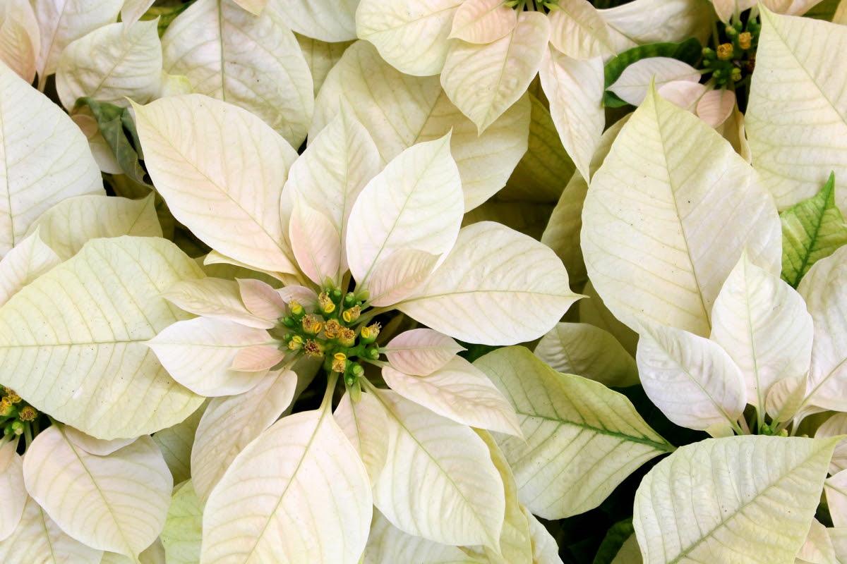 *Flores de Natal*
