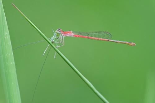 Damselfly with cricket prey.........IMG_3013 b4 copy