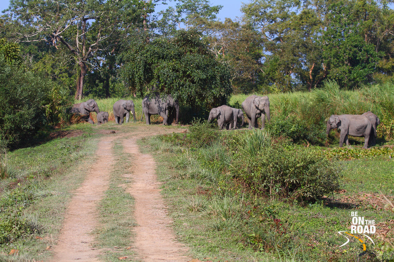 Elephants usurping the jeep track of Kaziranga Jungles, Assam