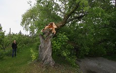 maple-down