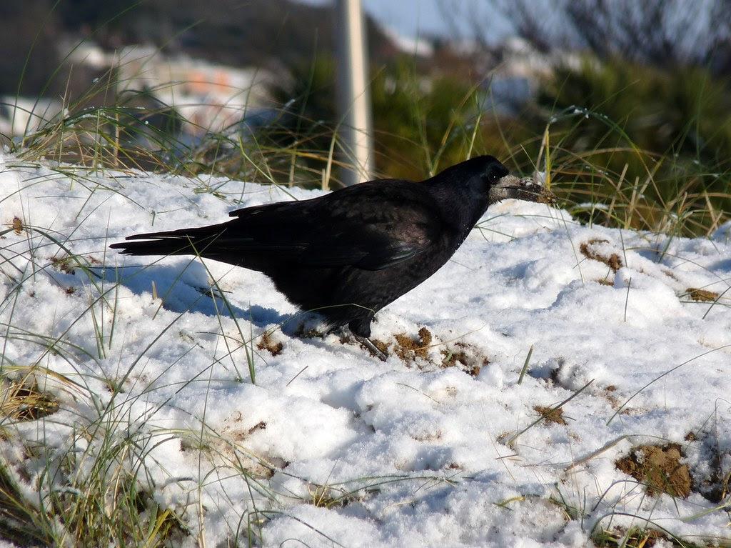23758 - Rook, Swansea Beach