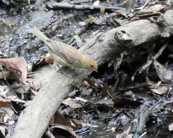 Ed Gaillard: birds &emdash; Indigo Bunting (female), Central Park