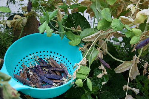 picking capucijner peas