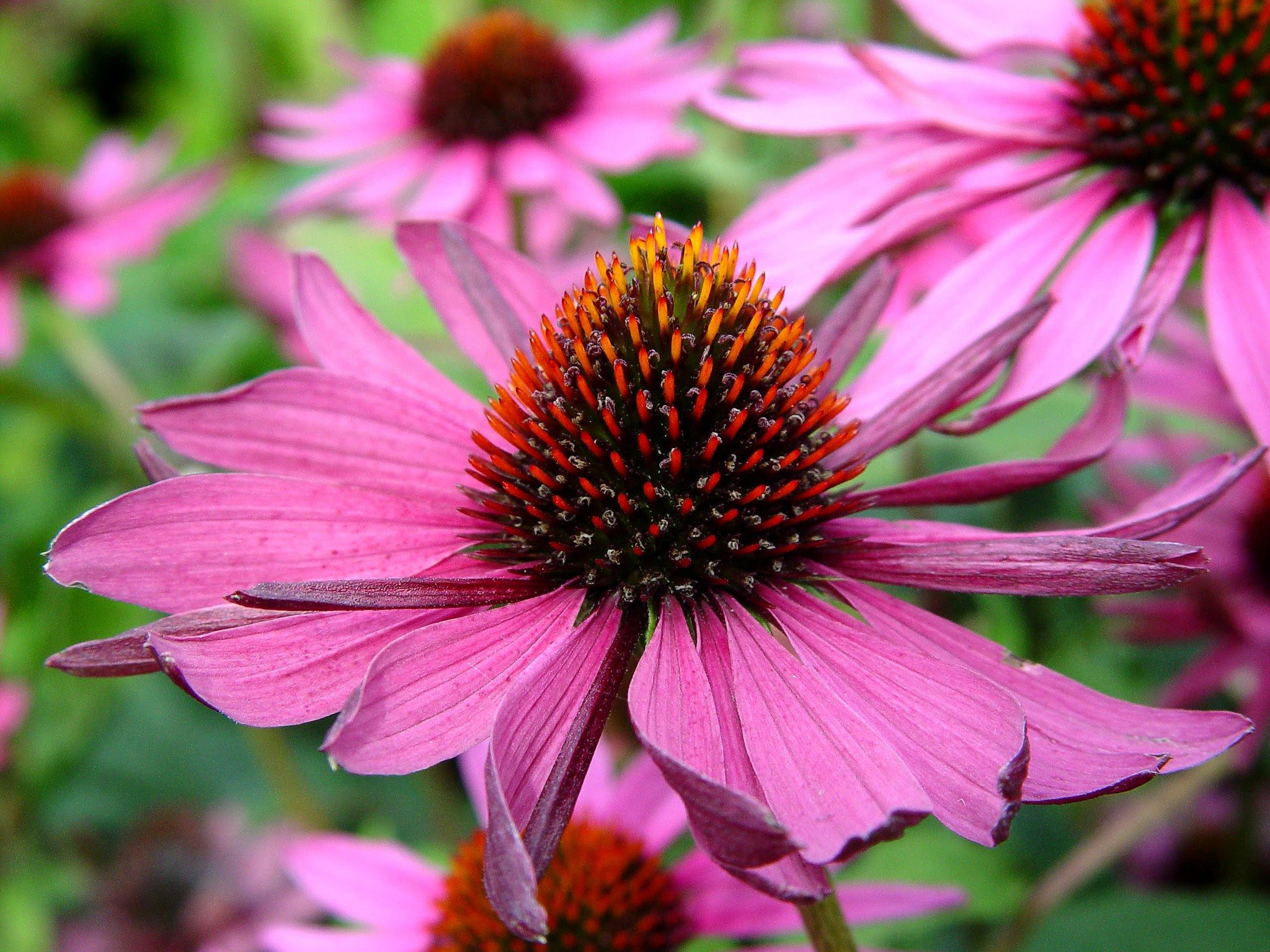Black Eyed Susans Turned Into Coneflowers Pennlivecom