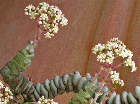 Crassula rupestris subsp. marnieriana   Jade Necklace