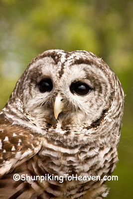 Barred Owl, Sand Bluff Bird Observatory, Winnebago County, Illinois