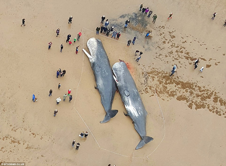 Huge: This picture of two whales at Skegness show the true scale of the mammals, which dwarf the tiny people standing around them