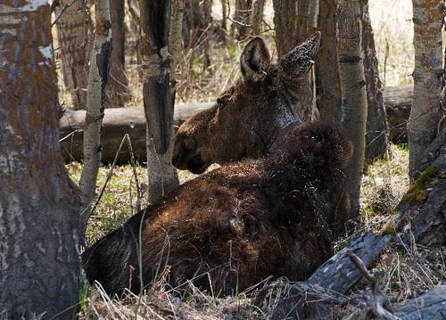 Resting Moose