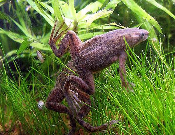 """African Dwarf Clawed Frog """"Hymenochirus boettgeri"""" - 1 ..."""
