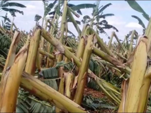 Agricultores relatam prejuízo de mais de R$ 2 milhões após destruição de plantio de bananeiras em Iguatu (Foto: Alex Santana/Iguatu.net)