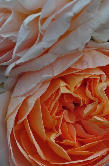 Rose Tamora