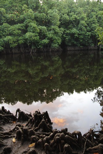 Mangrove forest during sun