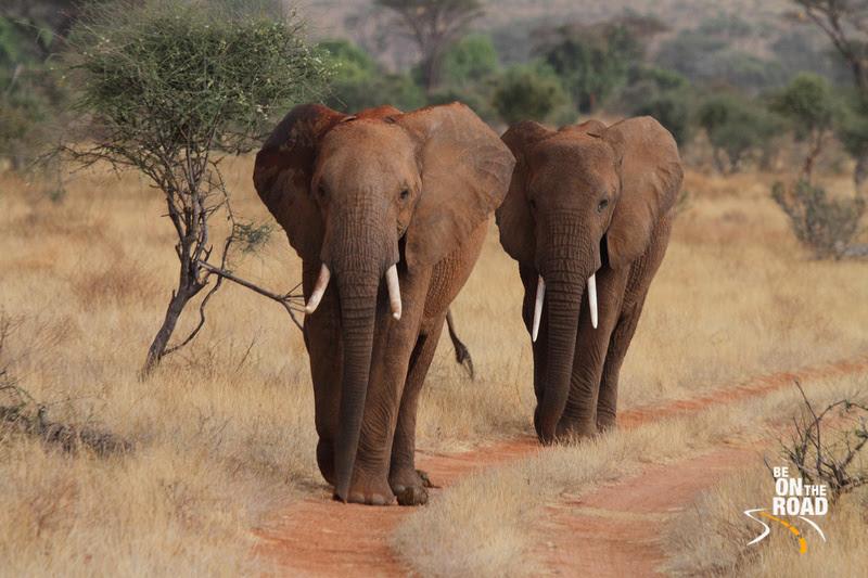 An Elephant March at Samburu