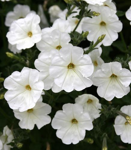petunia axillaris cl