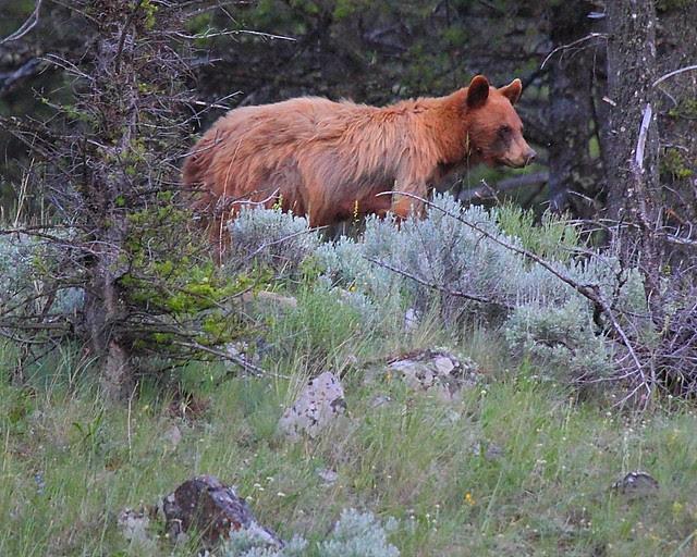 IMG_2701 Black Bear, Yellowstone National Park