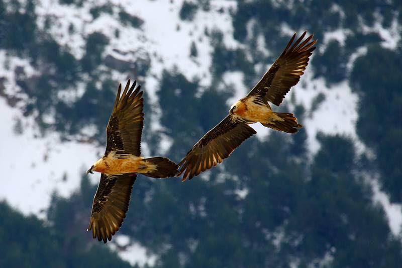 Resultado de imagen de Aguila Real ordesa