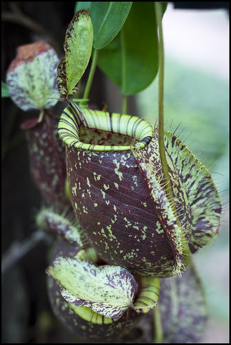 Pitcher Plant at Phuket Botanic Garden