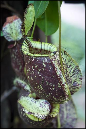 Pitcher Plant at Phuket Botanic Garden