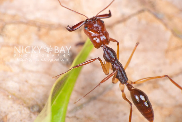 Trap Jaw Ant (Odontomachus sp.) - DSC_3194