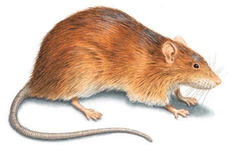 Rat Control: Get Rid of Rats