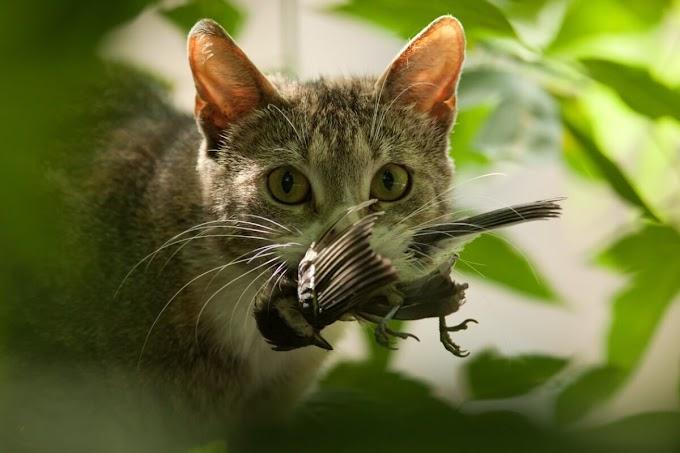 ¿Por qué los gatos persiguen el láser?