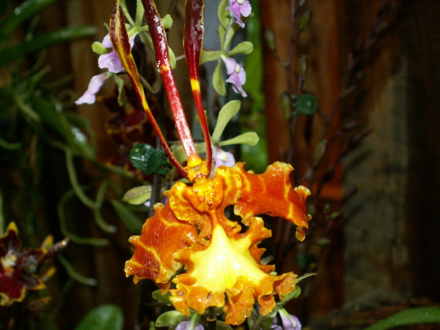 Psychopsis papilio (butterfly orchid)