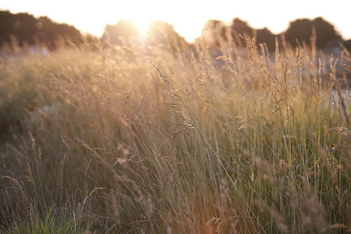 Swaying grass bathed in golden sunlight 2