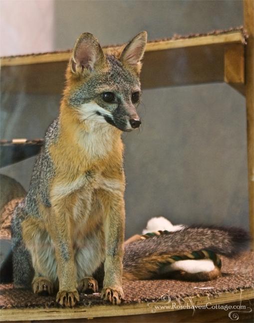 Grey fox (animal ambassador at the Lindsay Wildlife Museum)