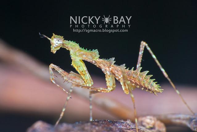 Moss Mantis? (Mantodea) - DSC_2708
