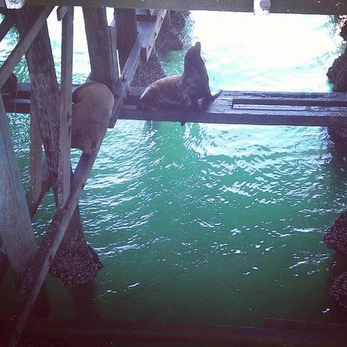 Santa cruz sea lions