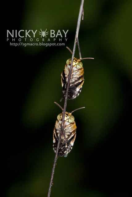 Sweat Bees (Amegilla sp.?) - DSC_0910