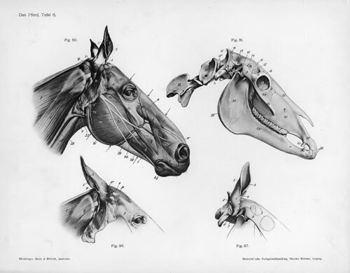 horse - anatomical views of head