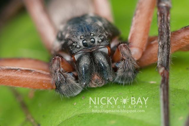 Huntsman Spider (Sparassidae) - DSC_4337