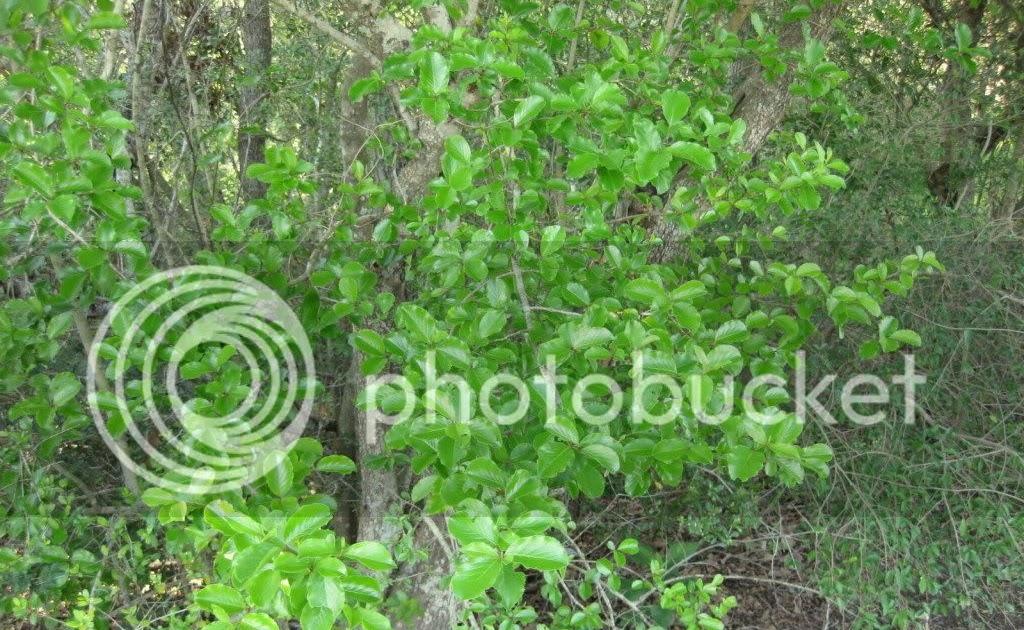 Wild Plants Of Southeast Texas Viburnum Rufidulum