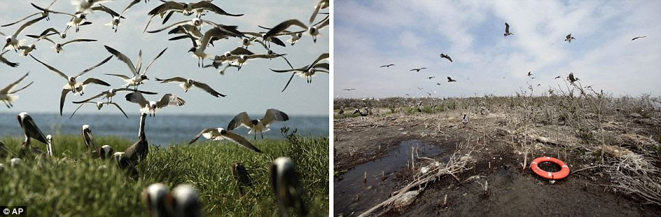 Contrast: The , left, May 2010 photo shows birds nesting just after the spill hits the shore line. The second photo taken on April 8, 2011 near the same location, shows the shoreline heavily eroded