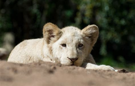 21  White Lion wallpapers HD High Quality