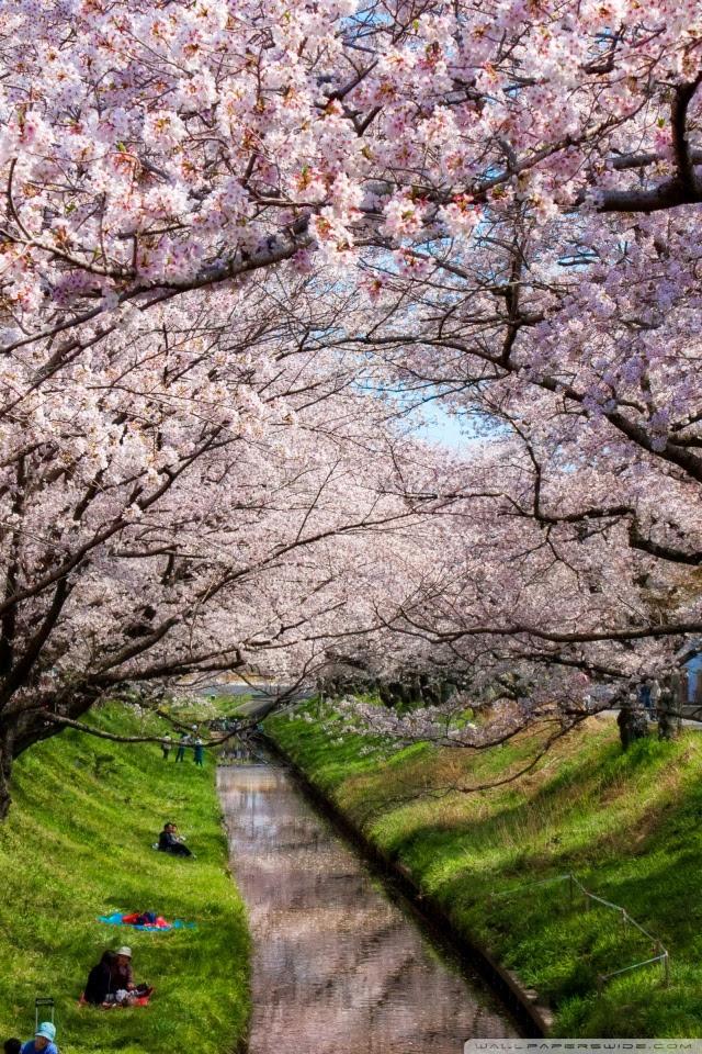 6500 Koleksi Gambar Wallpaper Hp Bunga Sakura Gratis