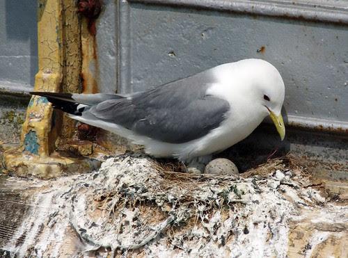 21985 - Kittiwake on Mumbles Pier, Gower