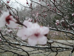 cherry blossum snow 2 blurred by Teckelcar