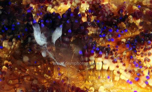 Ctenophore on a Fire Urchin